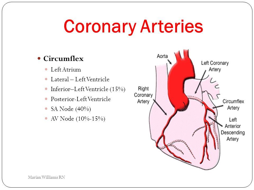 Coronary Arteries Circumflex Left Atrium Lateral – Left Ventricle
