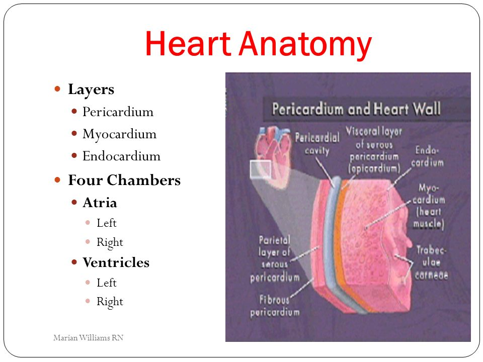 Heart Anatomy Layers Four Chambers Pericardium Myocardium Endocardium