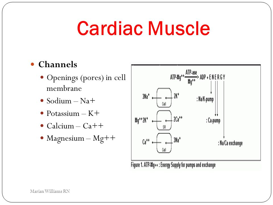 Cardiac Muscle Channels Openings (pores) in cell membrane Sodium – Na+