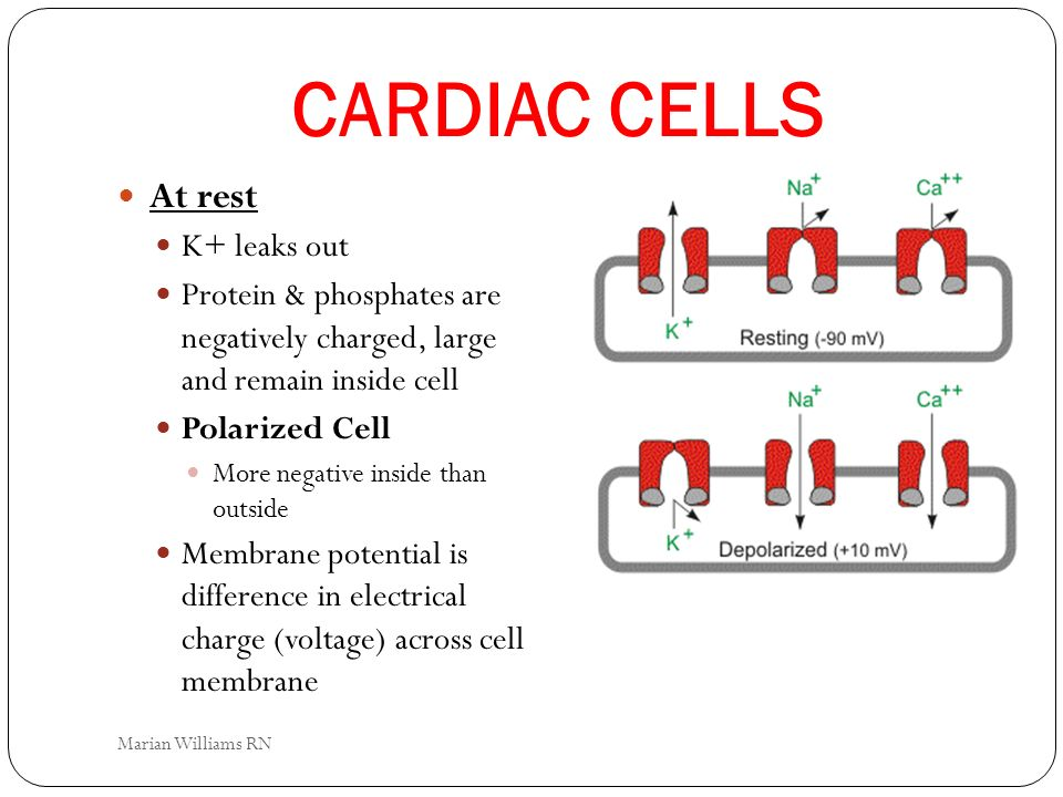 CARDIAC CELLS At rest K+ leaks out