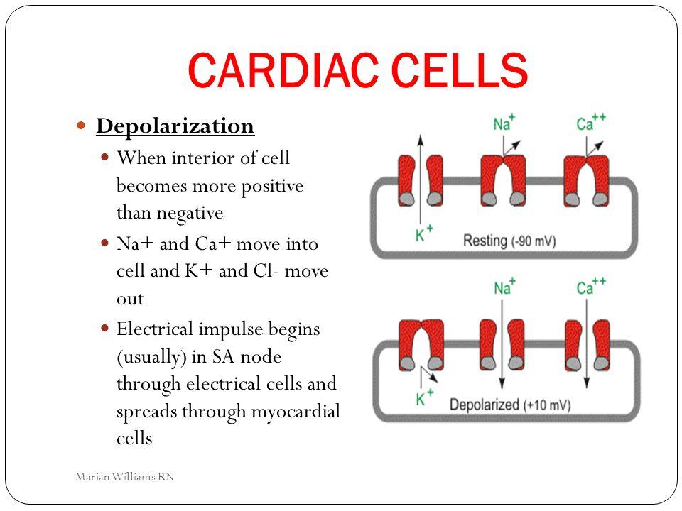 CARDIAC CELLS Depolarization