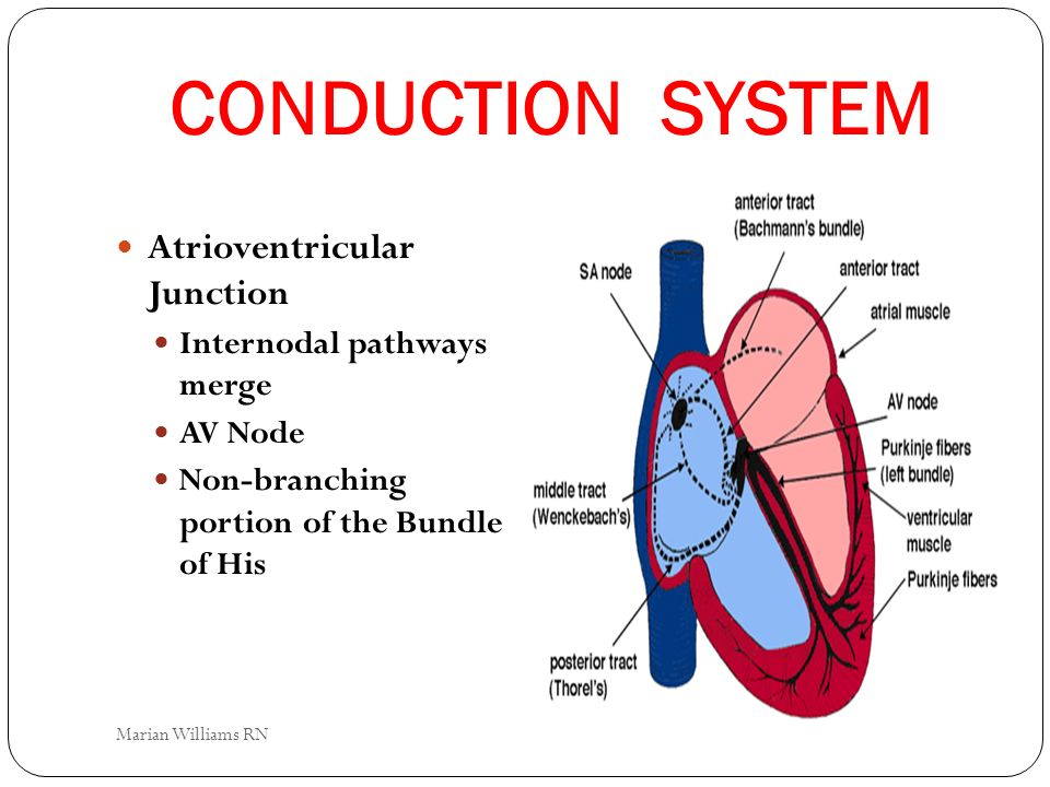 CONDUCTION SYSTEM Atrioventricular Junction Internodal pathways merge