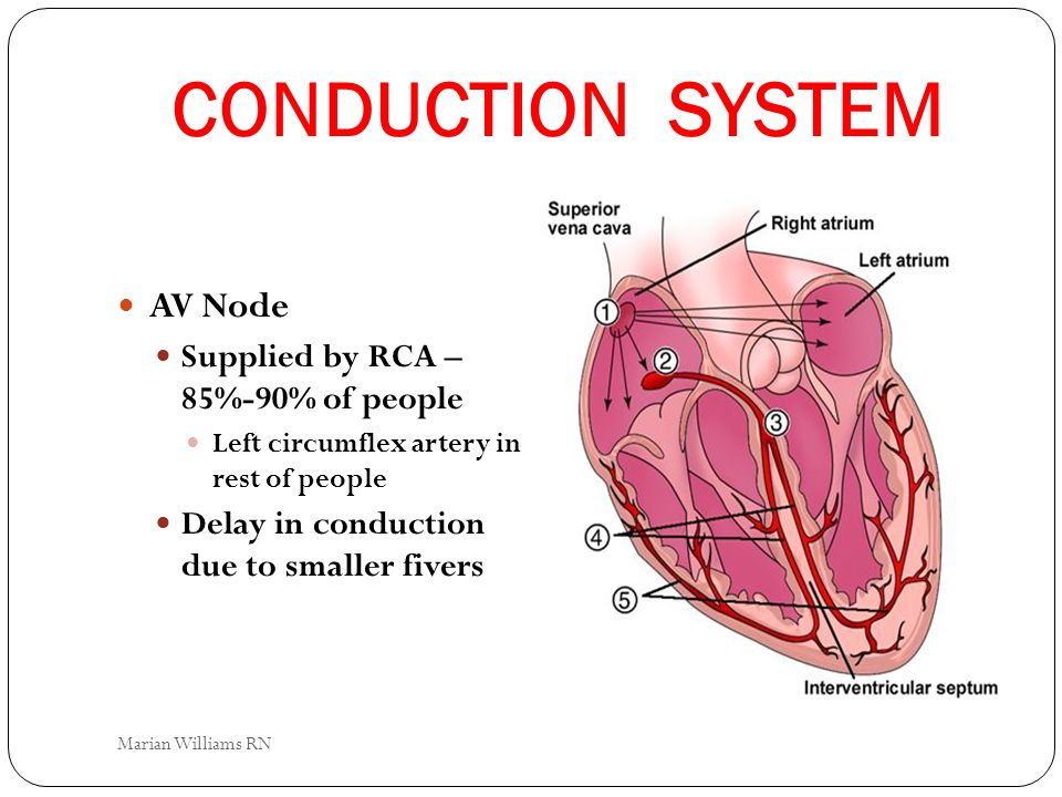 CONDUCTION SYSTEM AV Node Supplied by RCA – 85%-90% of people