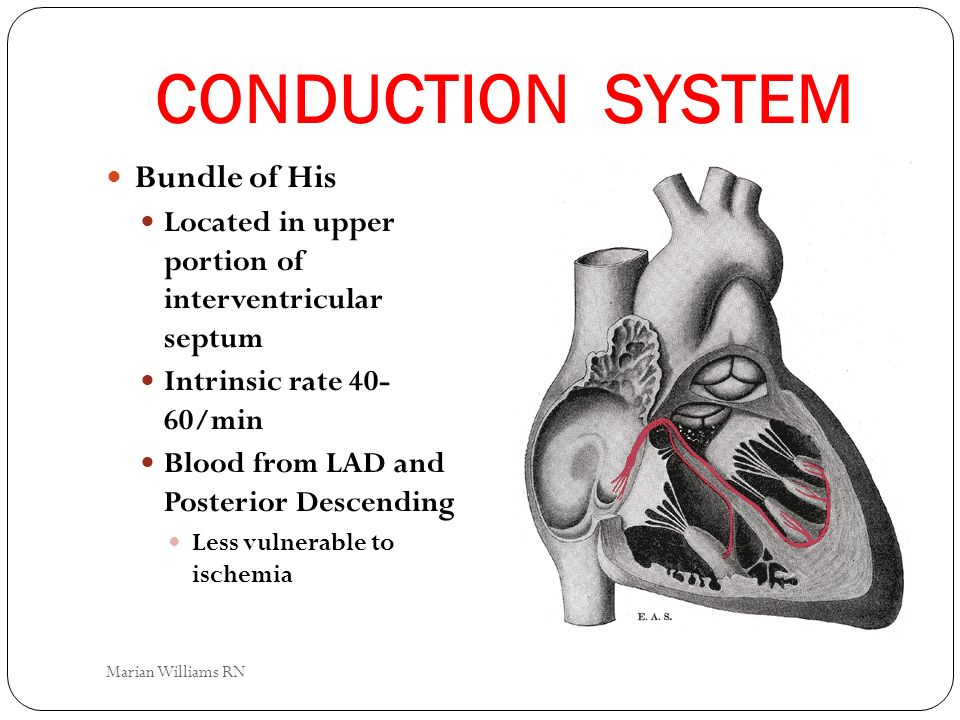 CONDUCTION SYSTEM Bundle of His