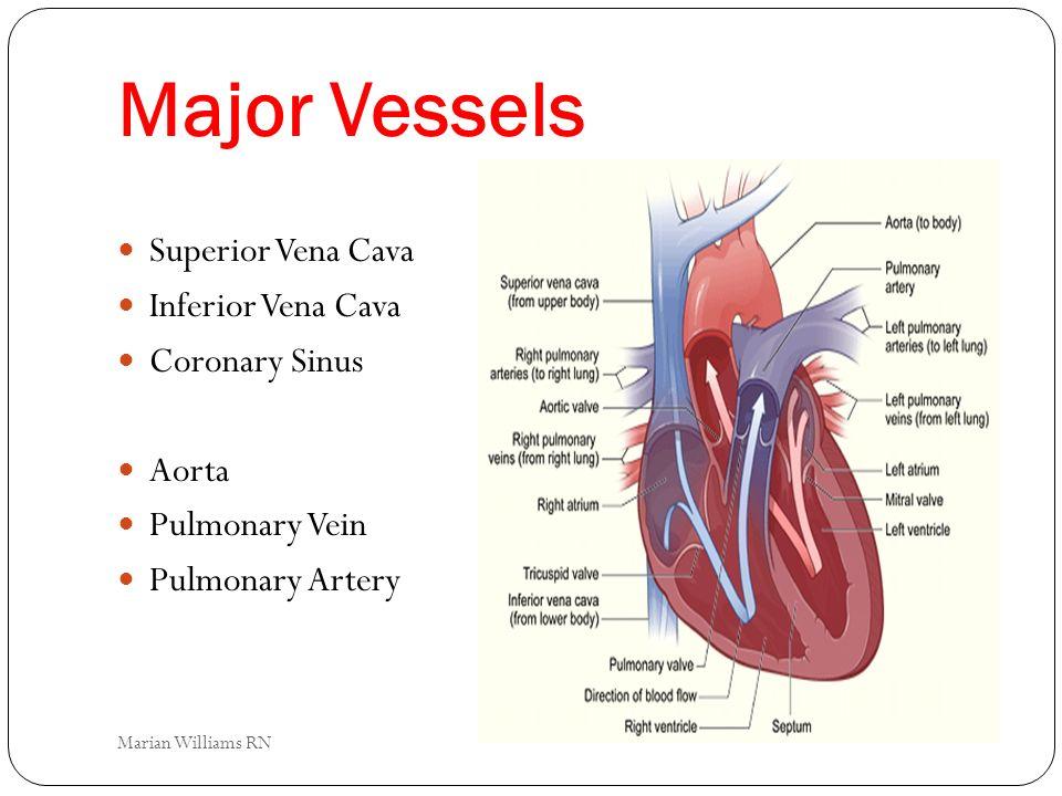 Major Vessels Superior Vena Cava Inferior Vena Cava Coronary Sinus