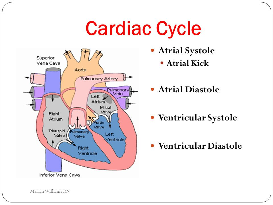Cardiac Cycle Atrial Systole Atrial Diastole Ventricular Systole