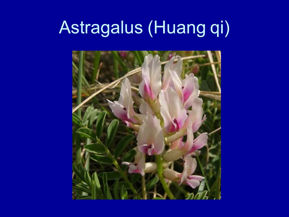 Astragalus (Huang qi)