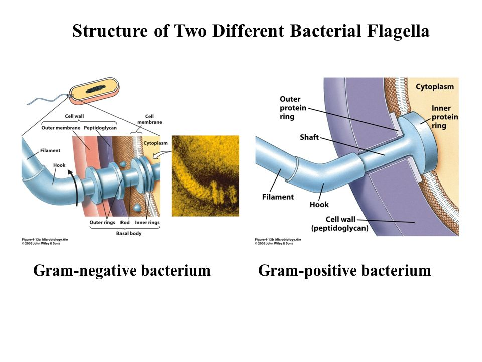 Structure of Two Different Bacterial Flagella