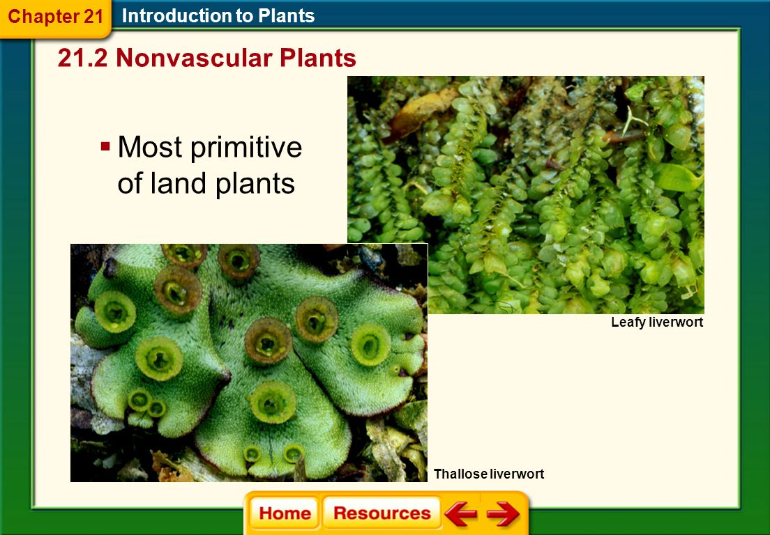 Most primitive of land plants