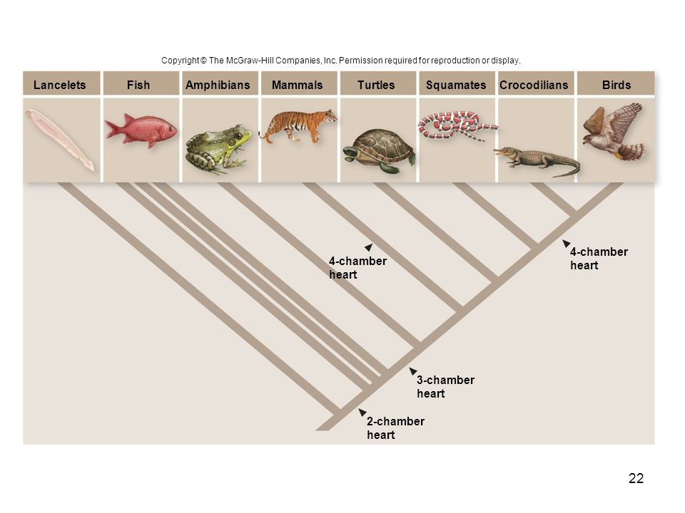 Lancelets Fish Amphibians Mammals Turtles Squamates Crocodilians Birds