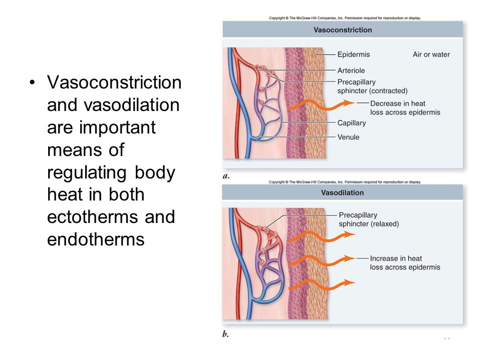 Vasoconstriction and vasodilation are important means of regulating body heat in both ectotherms and endotherms