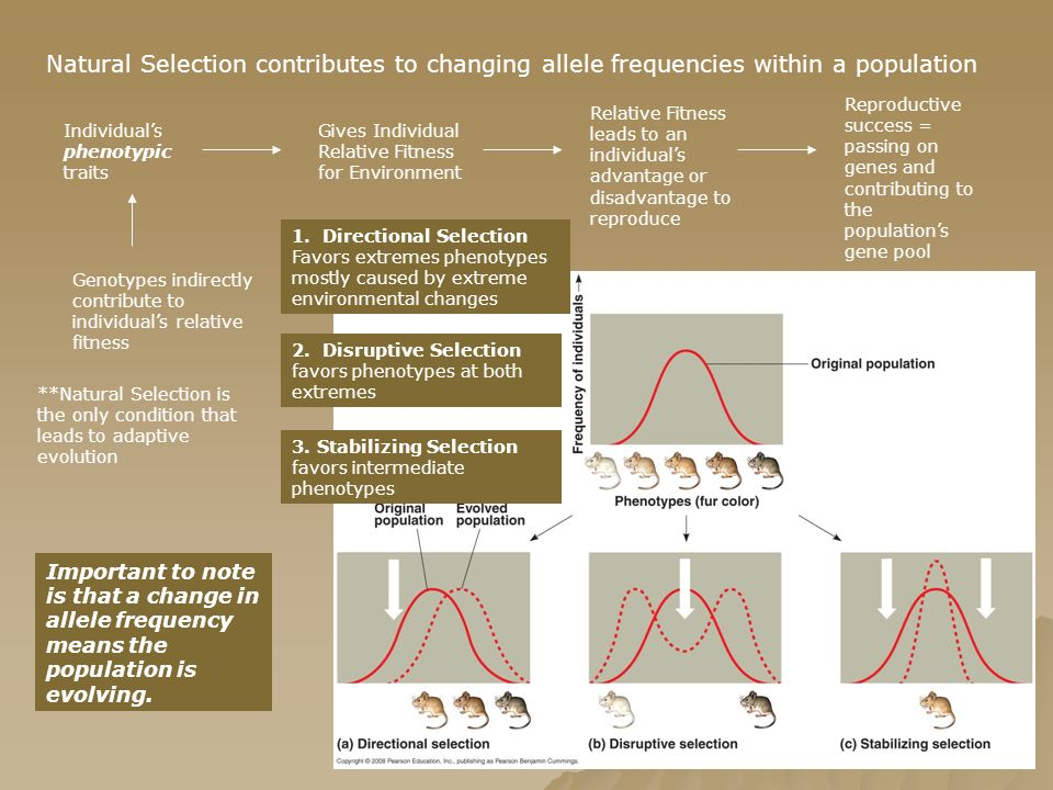 Natural Selection contributes to changing allele frequencies within a population
