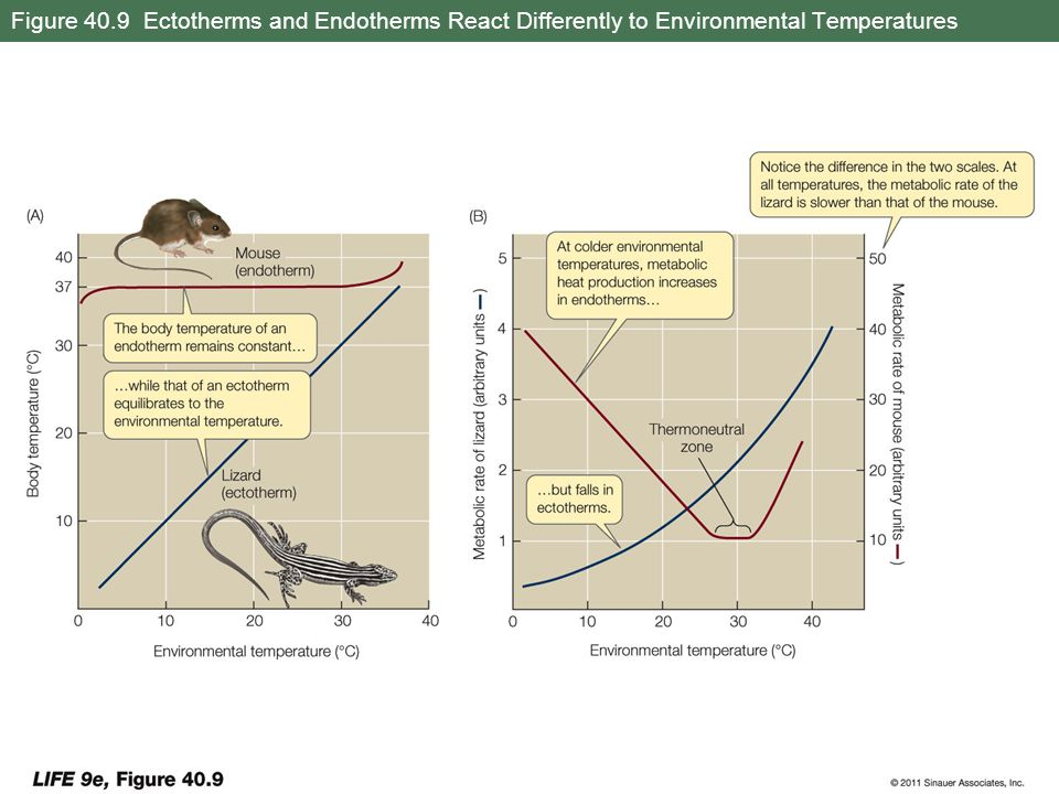 Figure 40.9 Ectotherms and Endotherms React Differently to Environmental Temperatures