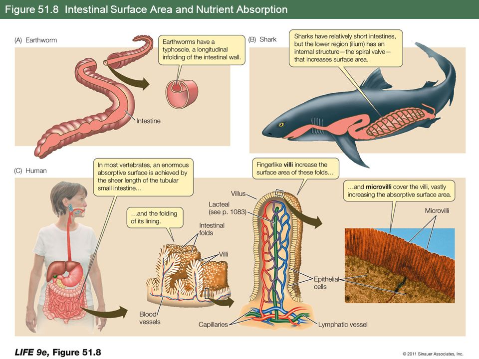 Figure 51.8 Intestinal Surface Area and Nutrient Absorption