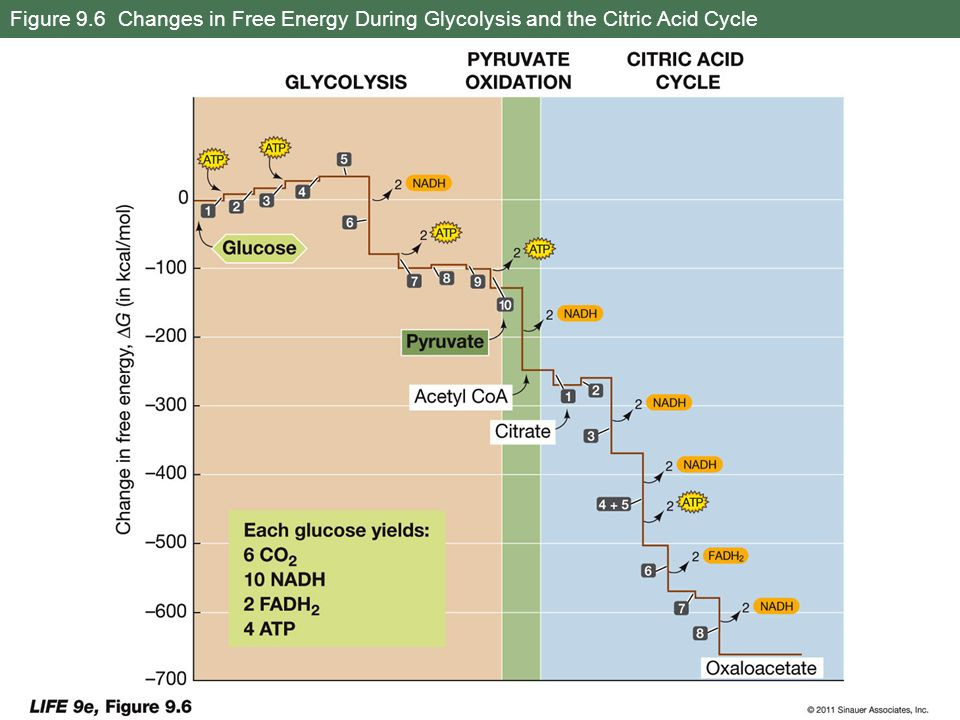 Figure 9.6 Changes in Free Energy During Glycolysis and the Citric Acid Cycle