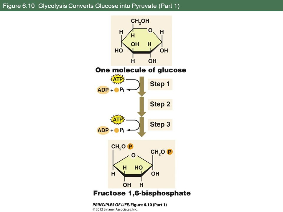 Figure 6.10 Glycolysis Converts Glucose into Pyruvate (Part 1)