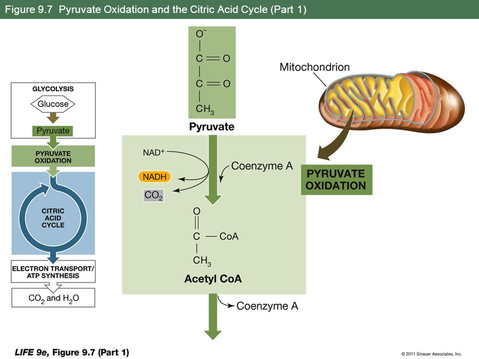 Figure 9.7 Pyruvate Oxidation and the Citric Acid Cycle (Part 1)