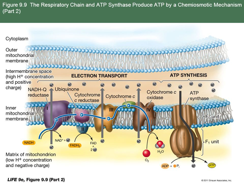 Figure 9.9 The Respiratory Chain and ATP Synthase Produce ATP by a Chemiosmotic Mechanism (Part 2)