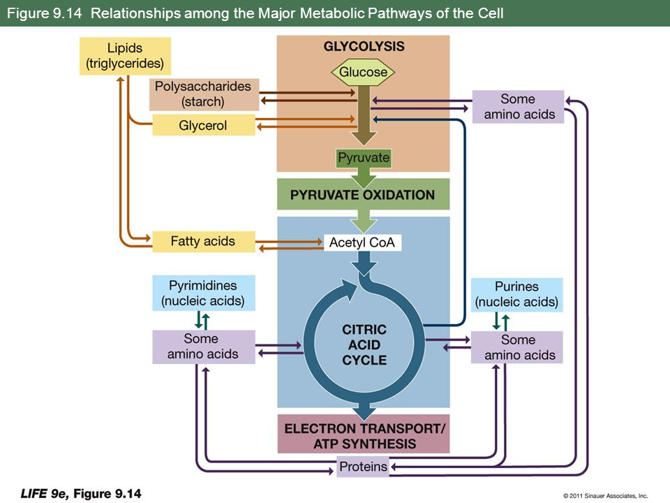 Figure 9.14 Relationships among the Major Metabolic Pathways of the Cell