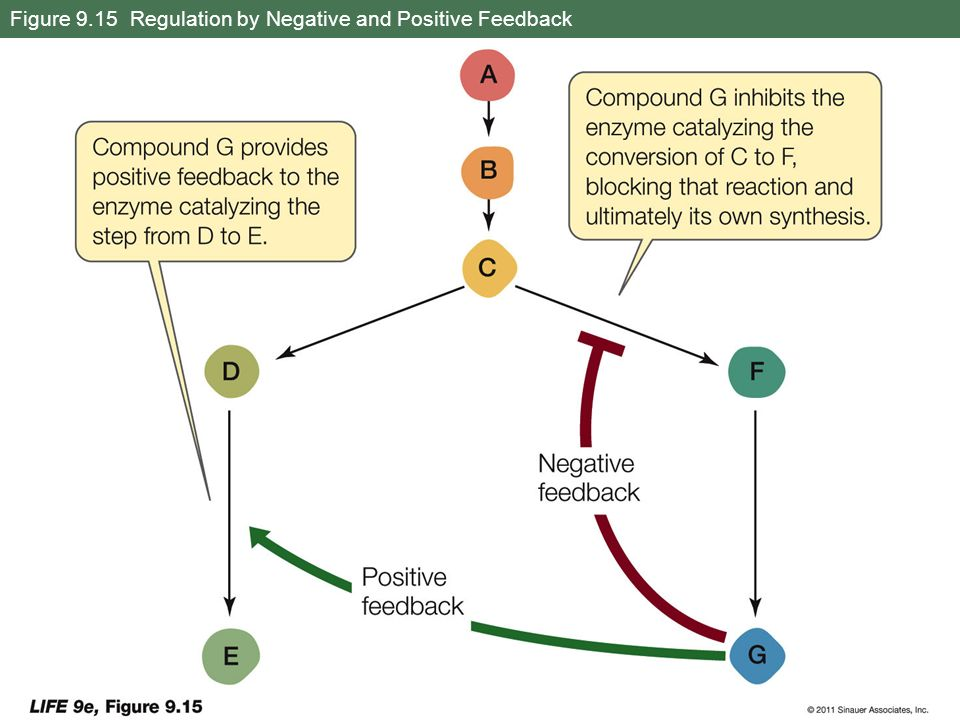 Figure 9.15 Regulation by Negative and Positive Feedback