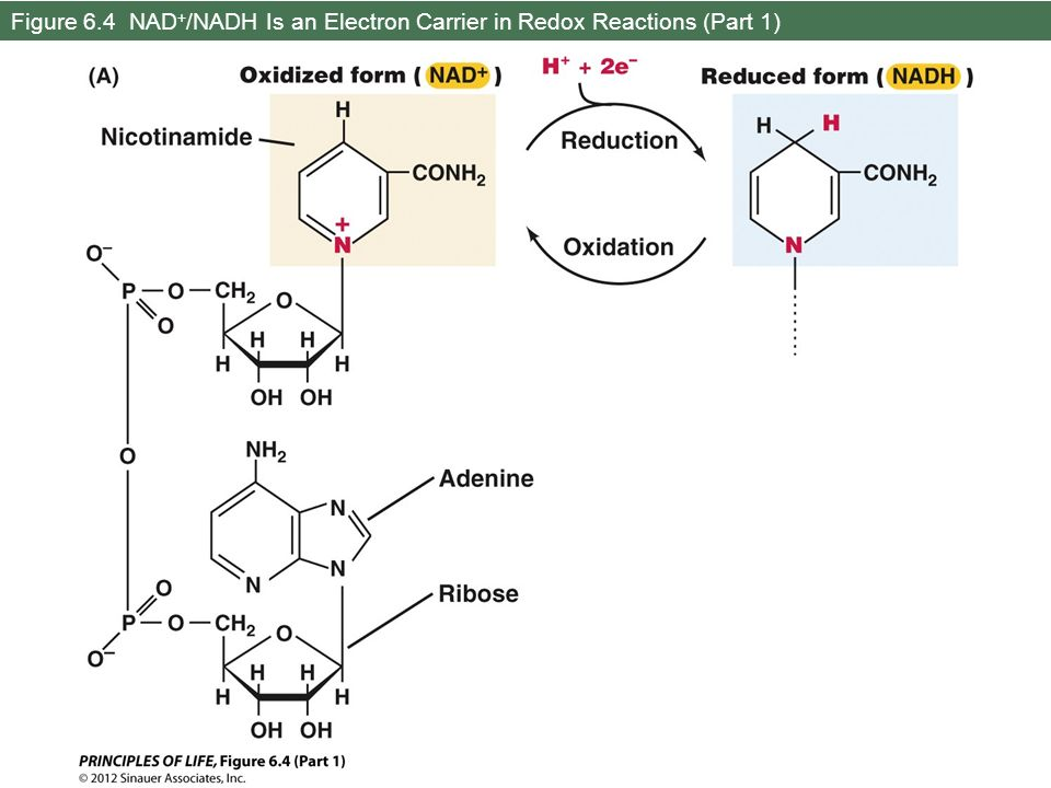 Figure 6.4 NAD+/NADH Is an Electron Carrier in Redox Reactions (Part 1)