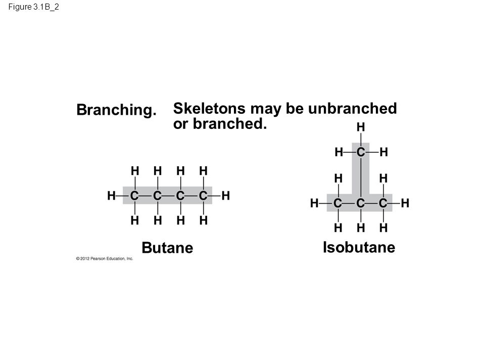 Skeletons may be unbranched or branched.