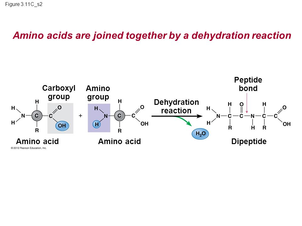 Amino acids are joined together by a dehydration reaction