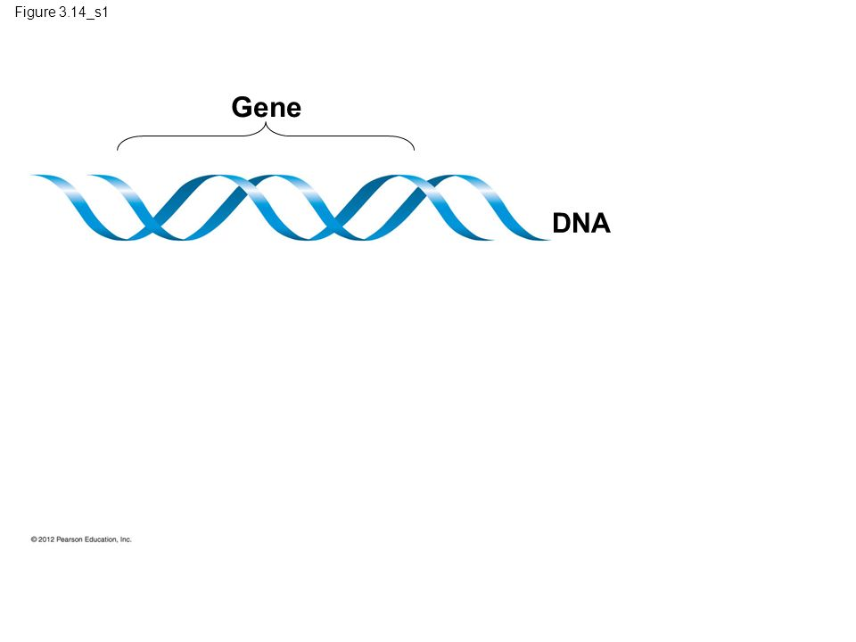 Figure 3.14_s1 Gene. DNA. Figure 3.14_s1 The flow of genetic information in the building of a protein (step 1)