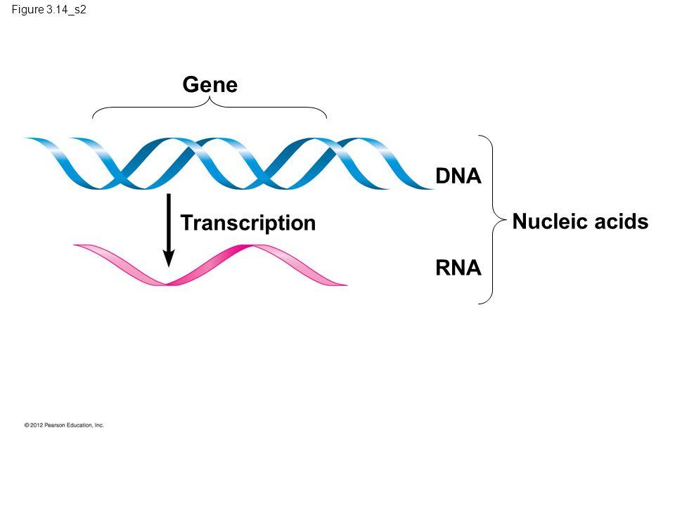 Gene DNA Transcription Nucleic acids RNA Figure 3.14_s2