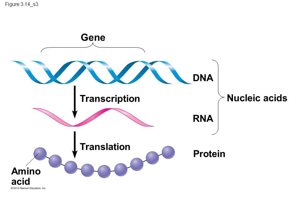 Gene DNA Transcription Nucleic acids RNA Translation Protein