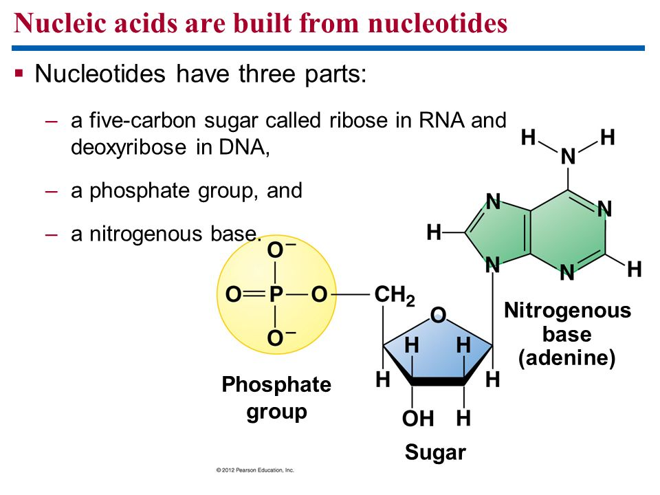 Nucleic acids are built from nucleotides