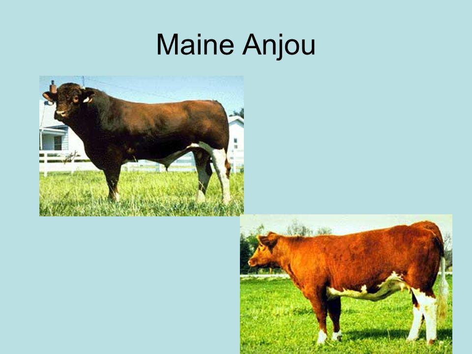 Maine Anjou