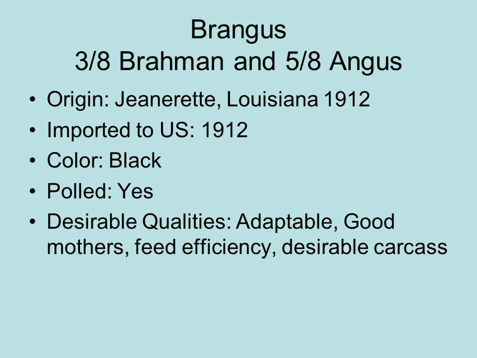 Brangus 3/8 Brahman and 5/8 Angus