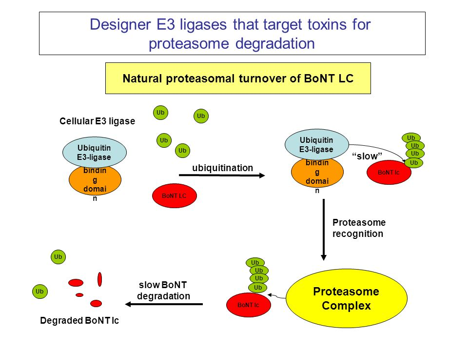 Natural proteasomal turnover of BoNT LC