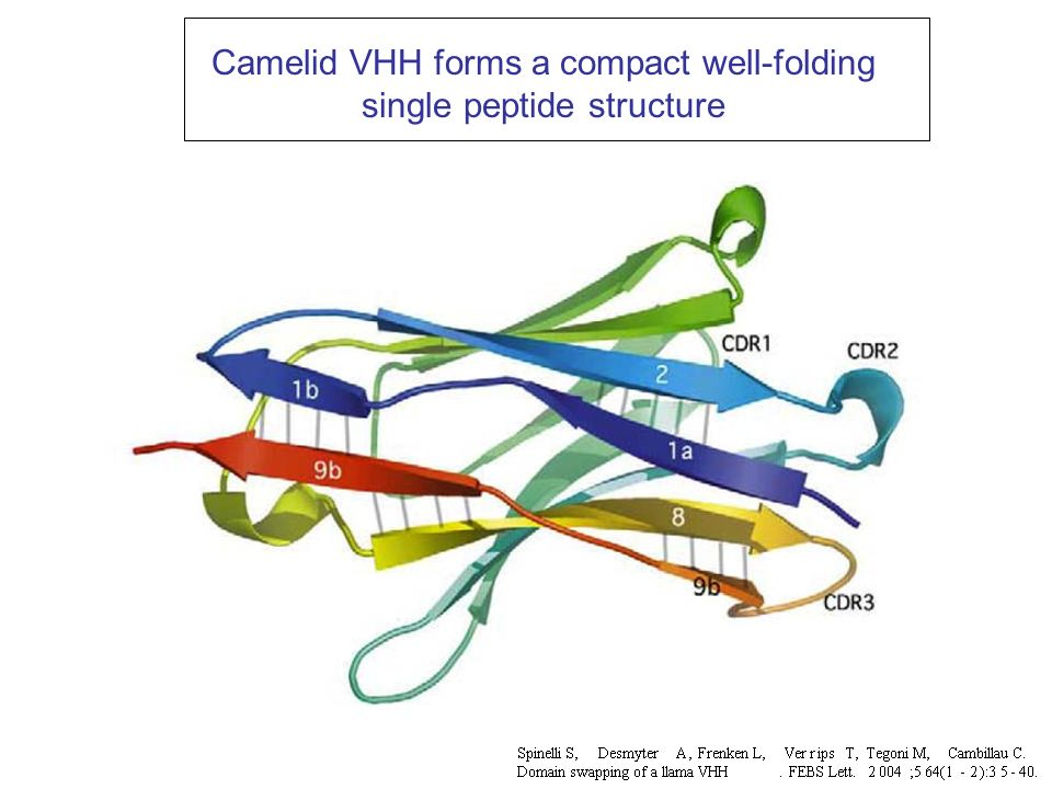 Camelid VHH forms a compact well-folding single peptide structure