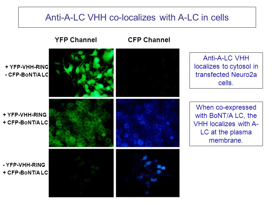 Anti-A-LC VHH co-localizes with A-LC in cells