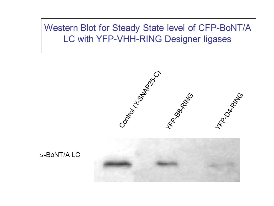 Western Blot for Steady State level of CFP-BoNT/A LC with YFP-VHH-RING Designer ligases