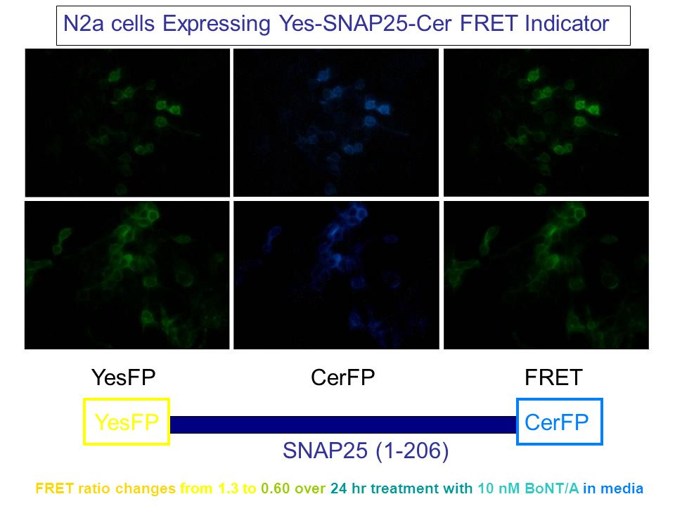N2a cells Expressing Yes-SNAP25-Cer FRET Indicator