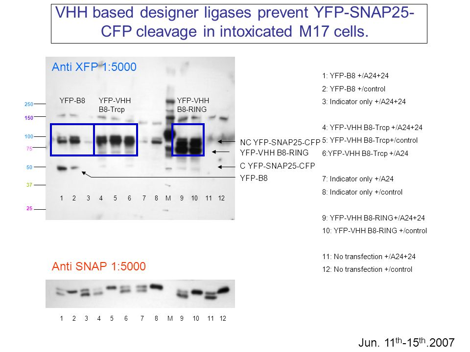 VHH based designer ligases prevent YFP-SNAP25-CFP cleavage in intoxicated M17 cells.
