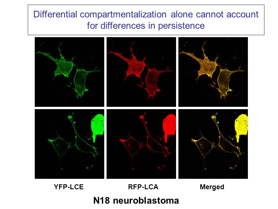 Differential compartmentalization alone cannot account for differences in persistence