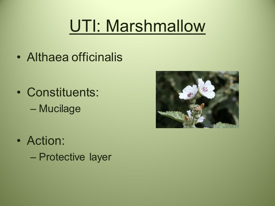 UTI: Marshmallow Althaea officinalis Constituents: Action: Mucilage