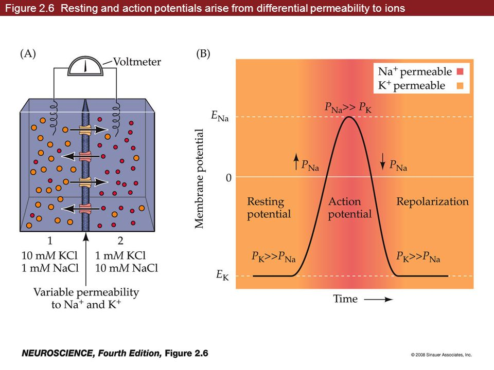 Figure 2.6 Resting and action potentials arise from differential permeability to ions