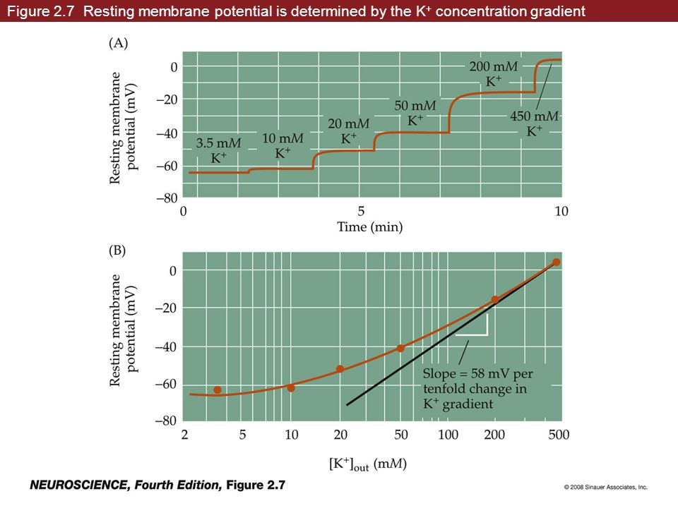 Figure 2.7 Resting membrane potential is determined by the K+ concentration gradient
