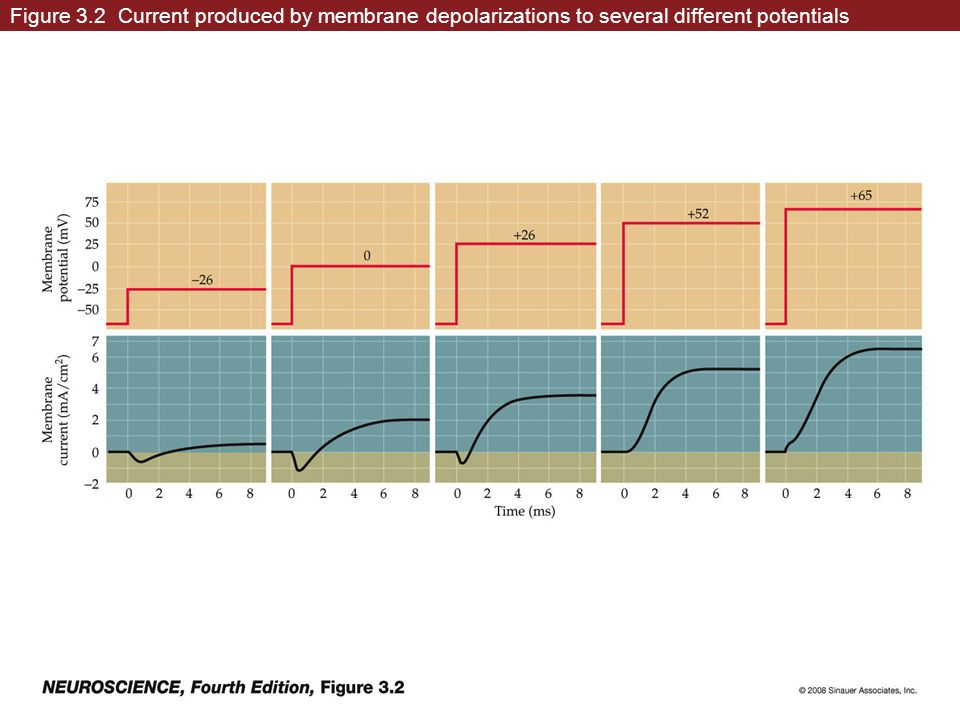 Figure 3.2 Current produced by membrane depolarizations to several different potentials
