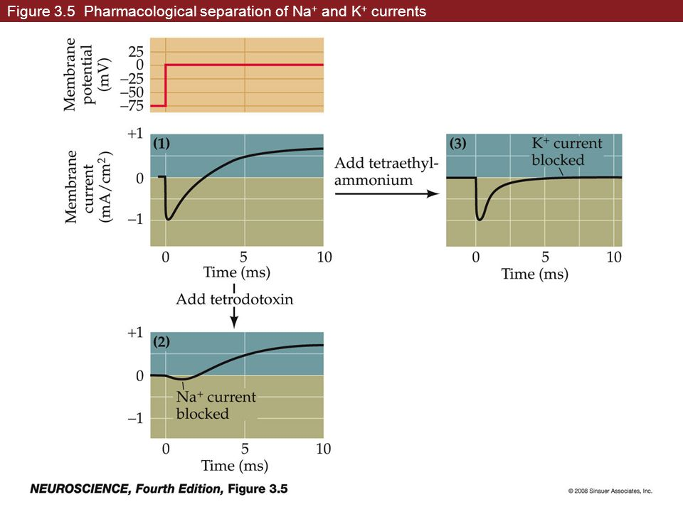 Figure 3.5 Pharmacological separation of Na+ and K+ currents