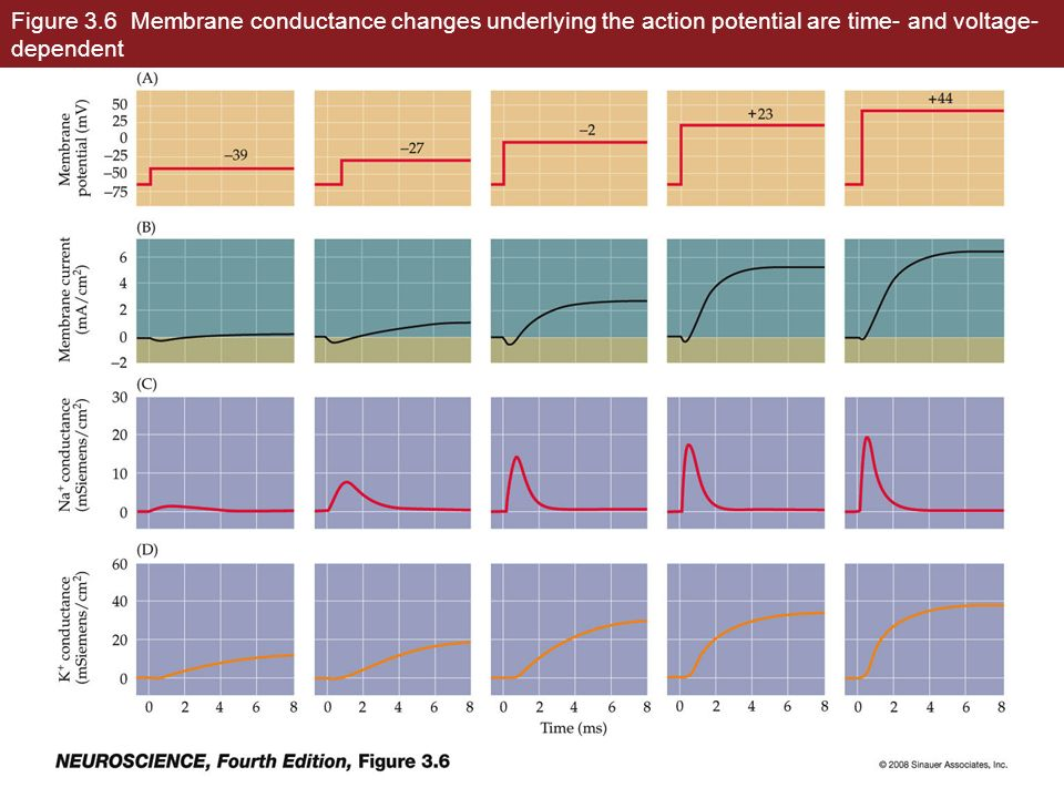 Figure 3.6 Membrane conductance changes underlying the action potential are time- and voltage-dependent