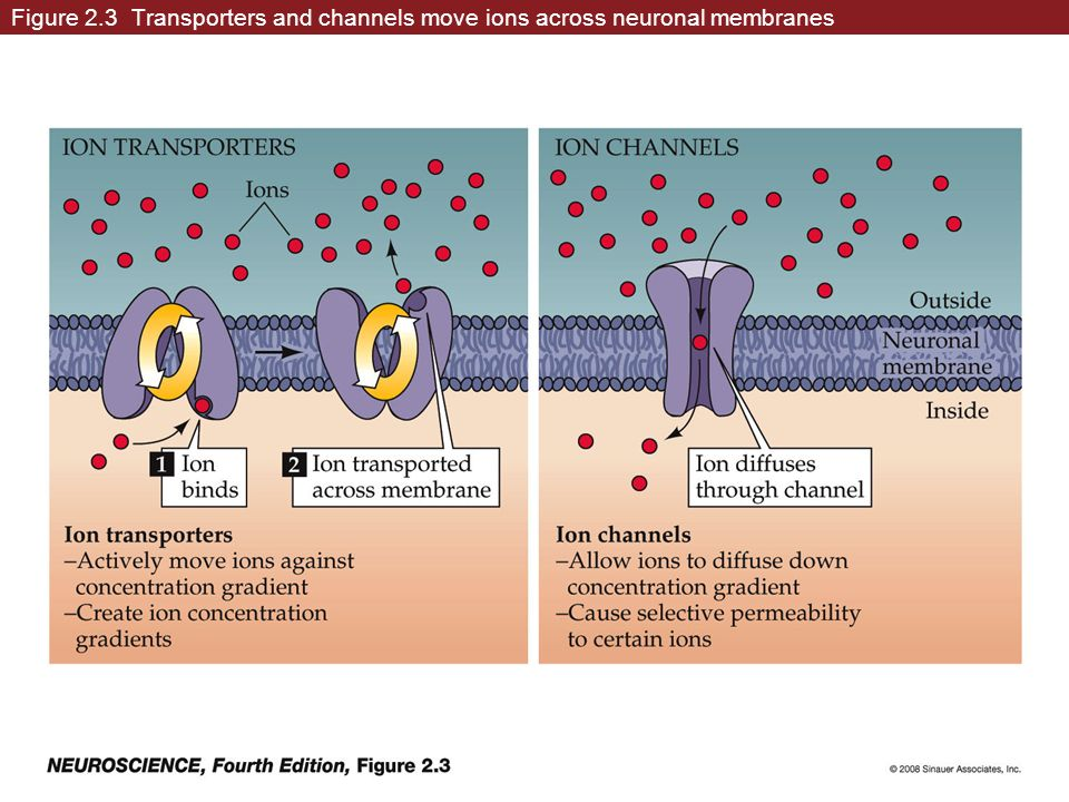 Figure 2.3 Transporters and channels move ions across neuronal membranes