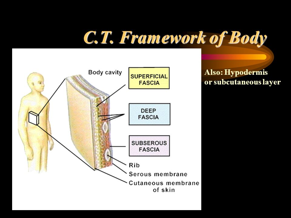 C.T. Framework of Body Also: Hypodermis or subcutaneous layer