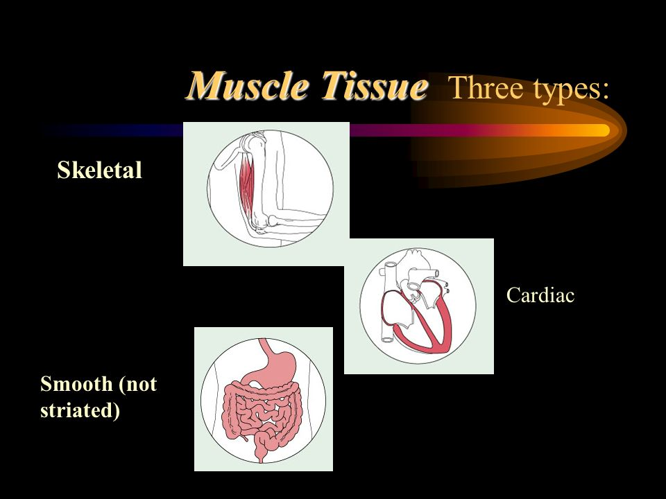 Muscle Tissue Three types: