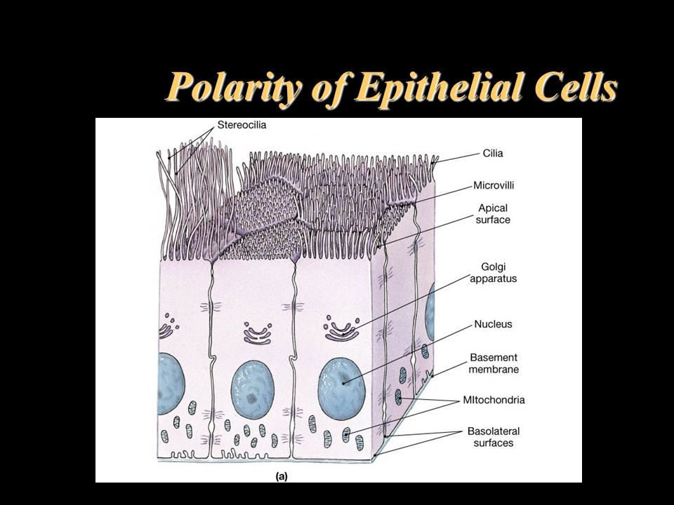 Polarity of Epithelial Cells